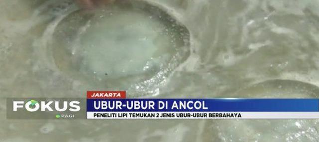Menurut LIPI ada dua dari tiga jenis ubur-ubur berbahaya yang berkeliaran di laut Pantai Ancol.