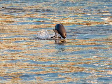 Seekor lumba-lumba tak bersirip terlihat di Sungai Yangtze di Yichang, Provinsi Hubei, China tengah, pada 3 Agustus 2020. Lumba-lumba tak bersirip, spesies endemik di China, menjadi indikator penting untuk ekologi Sungai Yangtze. (Xinhua/Lei Yong)