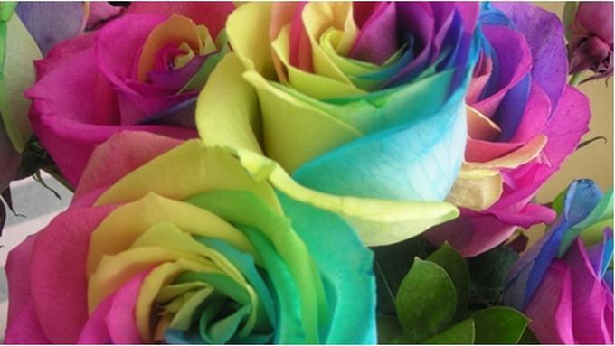 101+ Gambar Bunga Mawar Hitam Pink Paling Mekar
