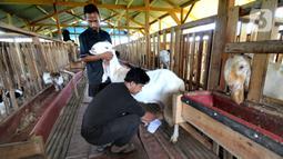 Peternak Fuad Farurahman memerah susu dari kambing peranakan Etawah di Jiwanta Farm, Cibeuteng Udik, Bogor, Jawa Barat, Kamis (8/4/2021). Berawal dari 40 ekor, dalam waktu setahun kambing bertambah menjadi 120 ekor dengan harga sekitar Rp 30 juta. (merdeka.com/Arie Basuki)