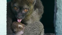 Seekor bayi Lemur bambu besar (Prolemur simus) menempel pada induknya, Veloma, di Kebun binatang Besancon, Prancis, Kamis (1/8/2019). Spesies lemur dari Madagaskar ini terancam punah dan diperkirakan hanya sekitar 1000 ekor yang dapat ditemui di alam liar. (Photo by SEBASTIEN BOZON / AFP)