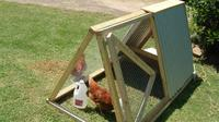 Rentachook di Australia menawarkan jasa layanan penyewaan ayam petelur. (Sumber Rentachook)