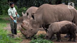 Keeper (perawat satwa) memberi makan Badak Putih (Ceratotherium Simum) di Taman Safari Indonesia, Bogor, Jawa Barat, Jumat (22/1/2021). Saat ini, bayi Badak Putih dengan bobot 50 kilogram yang lahir di Taman Safari Indonesia mendapat perawatan ekstra karena masih menyusui. (merdeka.com/Imam Buhori)