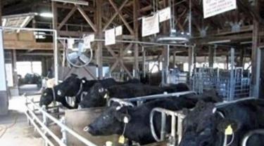 Noto, sapi kloning yang mati (paling kanan). (Dokumentasi Pemerintah Prefektur Ishikawa di Jepang)