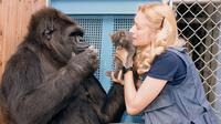 Koko, gorila jenius yang mengerti bahasa isyarat meninggal dunia di usia 46 tahun. (Foto: PBS/latimes.com)