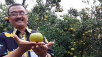 Jeruk dengan teknologi Buah Berjenjang Sepanjang Tahun (Bujang Seta) di di Kebun Percobaan Banaran, Batu, Jawa Timur (Liputan6.com).