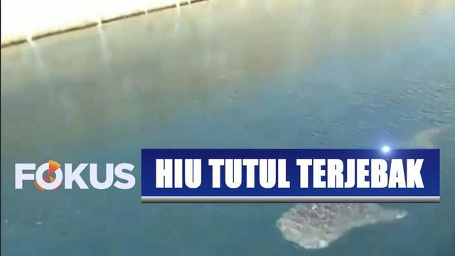 Seekor hiu tutul terjebak di saluran air pendingin PLTU Paiton, Jawa Timur, yang berkedalaman 8 meter.