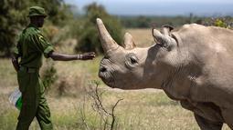 Petugas memeriksa badak putih betina Najin (30), satu dari dua yang masih hidup, di kandang suaka margasatwa Ol Pejeta, 23 Agustus 2019. Tim dokter hewan berhasil memanen 10 telur dari dua badak putih betina yang masih hidup di Kenya, dalam prosedur yang belum pernah terjadi. (AP/Ben Curtis)