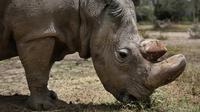 Satu-satunya pejantan dari tiga badak putih terakhir di dunia bernama Sudan memakan rumput di Laikipia, Kenya, 3 Mei 2017. Kematian Sudan membuat kalangan pejantan badak putih resmi punah. (AP Photo)