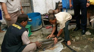 Mitos Aneh yang Dipercaya Warga Kabupaten OKI Usai Temukan Ikan Aligator