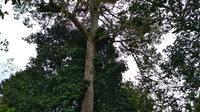 Pohon induk tunggal Durian Perwira nama asli dari Durian Sinapeul diklaim hanya ada di Kabupaten Majalengka Jawa Barat dan sudah tercatat di Kementerian Pertanian. (Liputan6.com / Panji Prayitno)