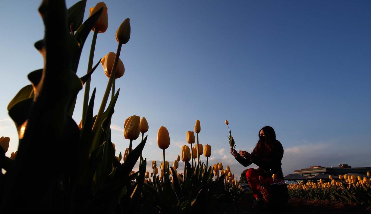 "Seorang wanita memetik bunga tulip di ladang tulip ""Tulipani Italiani"", yang ditanam oleh pasangan Belanda di Arese, Milan, Italia (15/4/2021). Lahan berisikan bunga tulip ini merupakan tempat penanaman pertama di Italia. Taman bunga tulip ini dibuka pada tanggal 28 Maret. (AP/Antonio Calanni)"