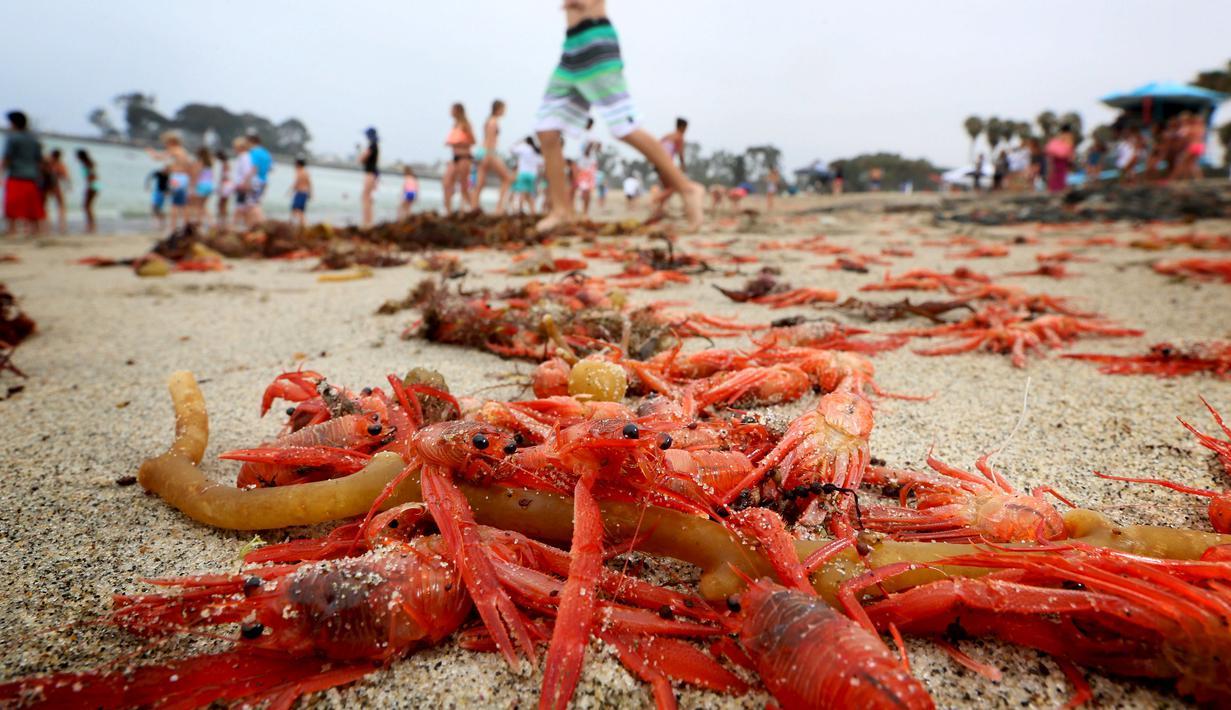 Ribuan kepiting tuna merah terdampar di sepanjang pantai Dana Point, California, Rabu (17/6/2015). Kepiting-kepiting tersebut pada bulan Januari lalu pertama muncul di Newport Beach. (REUTERS/Sandy Huffaker)