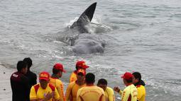 Petugas penyelamat membantu paus sperma terluka yang terdampar di perairan San Bartolo, Peru, Selasa (20/8/2019). Paus sperma muda dengan panjang sekitar empat meter tersebut terdampar sejak pagi hari. (AP Photo/Martin Mejia)
