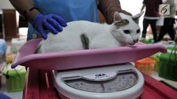 Dokter dari Pusat Pelayanan Kesehatan Hewan dan Peternakan KPKP menimbang seekor kucing sebelum dikebiri di Kantor Kecamatan Duren Sawit, Jakarta, Rabu (27/2). Sebanyak 130 ekor kucing jantan lokal peliharaan warga dikebiri. (Merdeka.com/Iqbal S. Nugroho)