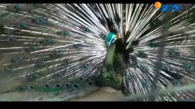 Burung merak atau pavo muticus yang akrab disapa 'Si Cantik' akan mengibas-ngibaskan sayapnya saat mendengar suara jepretan kamera.