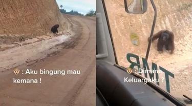 Orangutan Ini Terlihat Bingung saat Jalan di Wilayah Tambang, Videonya Viral
