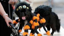 Seekor anjing bernama Punky mengenakan kostum laba-laba untuk berkompetisi dalam kontes kostum anjing Halloween tahunan di Coral Gables Museum, Coral Gables, Florida, Amerika Serikat, Kamis (31/10/2019). (AP Photo/Lynne Sladky)