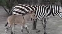 Meski fisiknya seperti keledai, namun Zonkey memiliki corak belang berwarna hitam putih seperti zebra. Lihat saja.