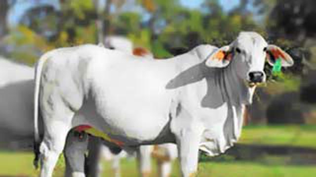 55+ Gambar Binatang Peliharaan Sapi Gratis Terbaru