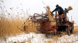 Pekerja lapangan memotong buluh di The Vistula Spit dekat Desa Jagodno, dekat Elblag, Polandia utara, 19 Februari 2021. Atap buluh terkenal dengan daya tahan dan insulasi termalnya. (MATEUSZ SLODKOWSKI/AFP)