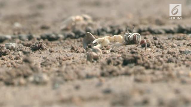 Tim pelestarian margasatwa Korsel berhasil menciptakan habitat bagi kepiting langka.