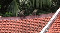 Puluhan ekor kera liar di Gunung Tambu, Desa Condro, Kecamatan Pasirian Lumajang turun gunung, kera berwarna coklat dengan ekor panjang ini kerap menaiki atap dan masuk ke rumah warga. (Liputan6.com/Dian Kurniawan)