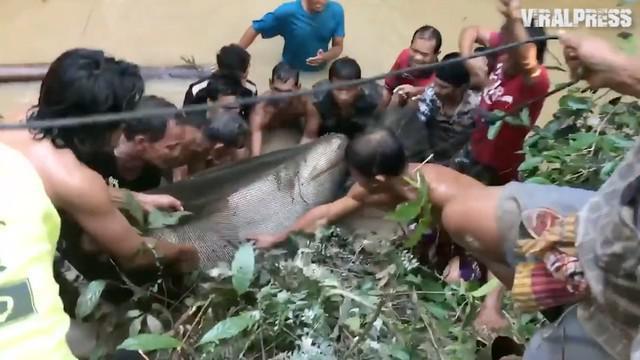 Ditemukan lele raksasa seberat 400 kilogram di sungai Mekong. Warga pun membantu untuk menyelamatkan lele tersebut.