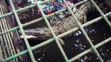 Buaya yangditangkap nelayan di pinggiran Sungai Siak, Kota Pekanbaru.