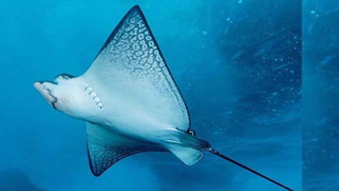 Unduh 41+ Gambar Buntut Ikan Pari HD Terpopuler