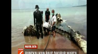 Bangkai ikan paus sperma sepanjang delapan meter yang mati akibat memakan sampah plastik di Pulau Kapota, Kabupaten Wakatobi, Sulawesi Tenggara, akhirnya di kubur oleh warga setempat.