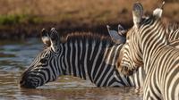 Kawanan zebra minum dari lubang air yang terletak di Taman Nasional Amboseli, Kenya, 21 Juni 2018. Diperkirakan terdapat sekitar 400 spesies burung dan 47 jenis hewan liar di taman nasional ini. (AFP/TONY KARUMBA)