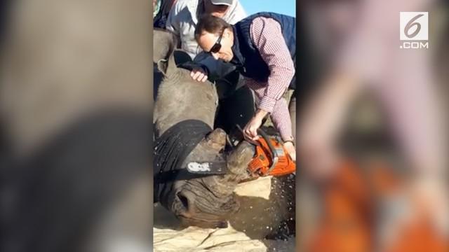 Di Kragga Kamma Game Park, Afrika Selatan,  badak dipotong culanya untuk hindari pembunuhan liar.