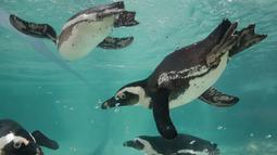 Penguin Afrika atau Penguin Jackass berenang di kolam selama persentasi kepada awak media di kebun binatang Roma, Kamis (27/12). Jumlah yang berkurang menyebabkan penguin ini diklasifikasikan sebagai spesies terancam punah. (AP/Alessandra Tarantino)