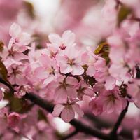 Wajah cerah dengan bunga sakura. (Foto: Kristina Paukshtite/ Pexels)