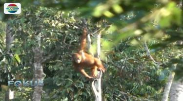 Saat ini masih terdapat 650 orangutan yang bersekolah hutan dan rehabilitasi di Yayasan Borneo Orangutan Survival di Nyaru Menteng.