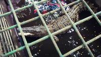 Buaya muara di Sungai Siak yang dievakuasi ke Kebun Binatang Kasang Kulim. (Liputan6.com/M Syukur)