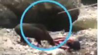 Warga Paripurno Kecamatan Salaman Kabupaten Magelang tengah berduel dengan seekor celeng atau babi hutan di lereng Bukit Menoreh. (foto: Liputan6.com / edhie prayitno ige)