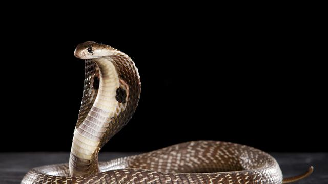 Tak Kenal Rasa Takut, Pria Ini Bersihkan Kandang Kobra Sendirian
