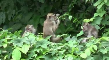 Ilustrasi Kawanan Monyet