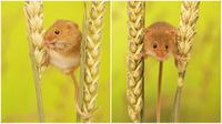 Beberapa pose menggemaskan tikus mungil 'harvest mouse'. (Daily Mail)