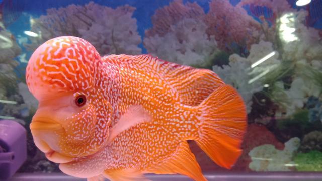 5 Jenis Ikan Louhan Lokal Terbaik Beserta Harganya Tak Kalah Dari Impor Hot Liputan6 Com