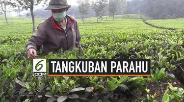 Erupsi Gunung Tangkuban Parahu sudah berlangsung selama 3 pekan. Akibatnya pabrik pengolahan teh tutup karena daun harus dibersihkan dari debu vulkanik.