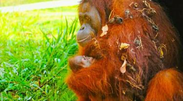 Orangutan yang berhasil dikembangbiakkan BBKSDA Riau di kebun binatang Kota Batam.