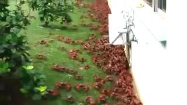 Beginilah penampakan serbuan jutaan kepiting merah ketika sedang migrasi di musim pembiakan alamiah mereka di Pulau Christmas.