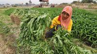 Panjangnya musim kemarau yang melanda seluruh daerah di tanah air, berdampak buruk bagi sejumlah petani.