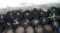Banyak tanaman Edelweiss yang dikenal sebagai bunga abadi mati akibat kebakaran hebat yang menghanguskan puluhan hektare lahan Gunung Bromo. (Liputan6.com/Dian Kurniawan)