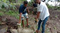 Ratusan ternak milik warga korban erupsi Gunung Api Ili Lewotolok mati dan akan dikuburkan. (Liputan6.com/Dionisius Wilibardus)