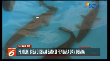 Kementerian Kelautan dan Perikanan Yogyakarta amankan belasan ikan predator agar tidak dilepasliarkan di perairan umum.