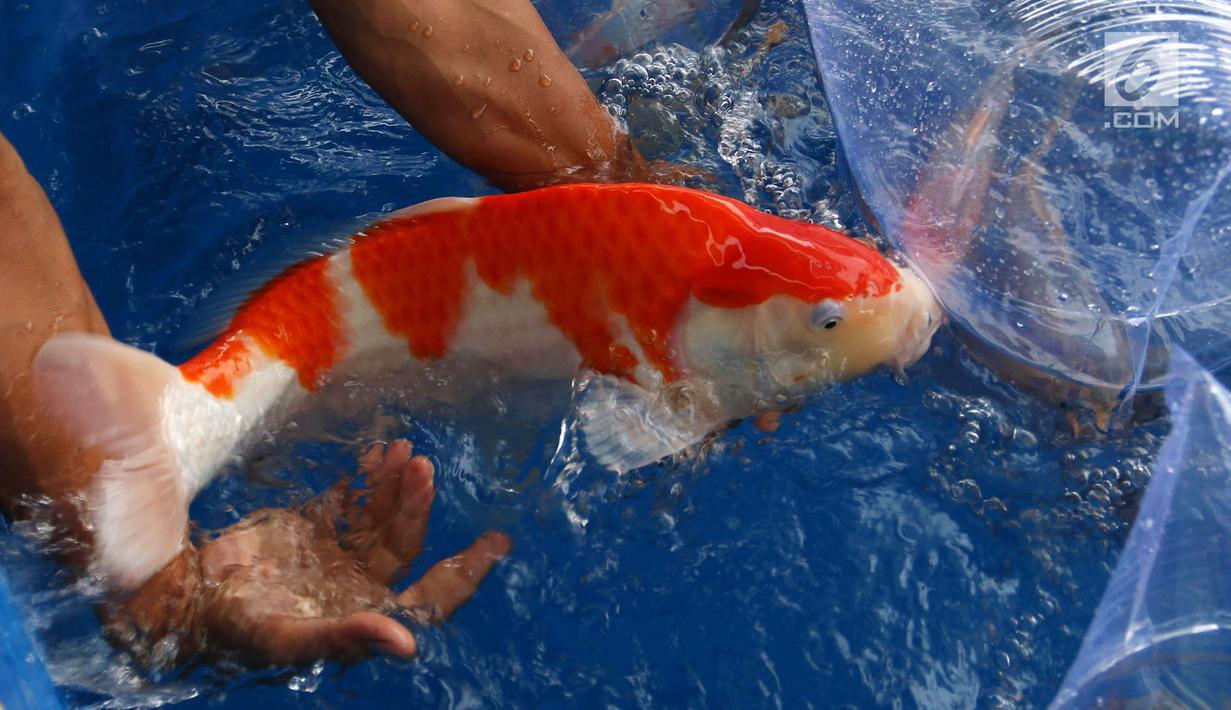 Download 98 Koleksi Gambar Ikan Koi Juara Kontes Terpopuler